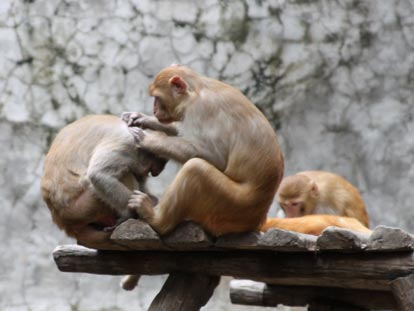 Gibbons grooming each other at Chiang Mai Zoo